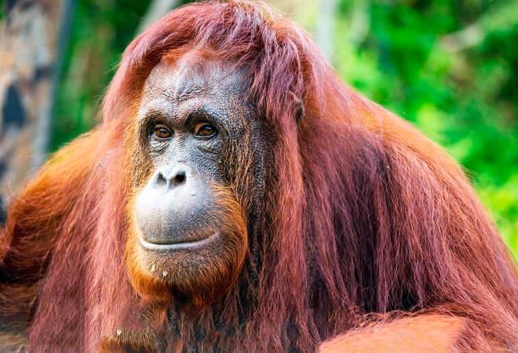 Суматранский орангутан фото