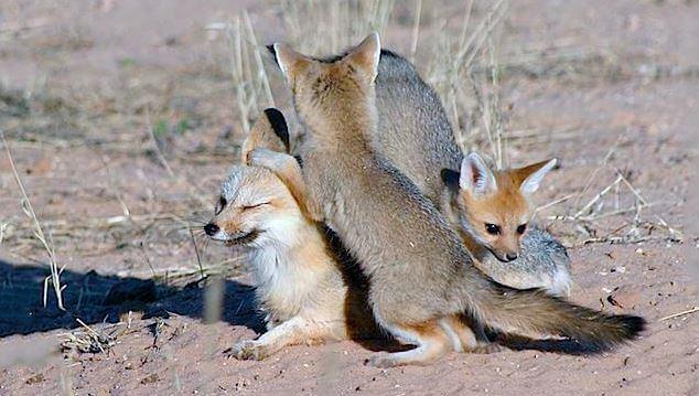 Картинка с южноафриканской лисицей