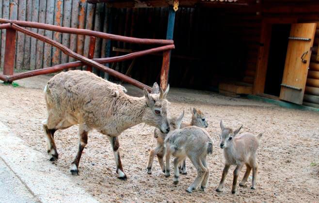 Самка голубого барана с детёнышами