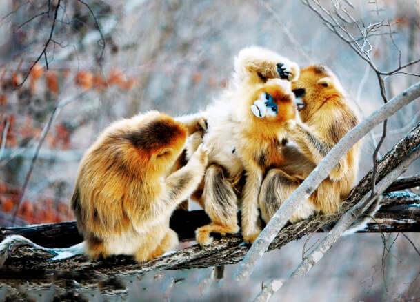 Общение золотых курносых обезьян