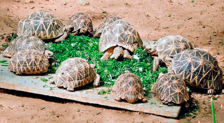 Место обитания индийской звездчатой черепахи