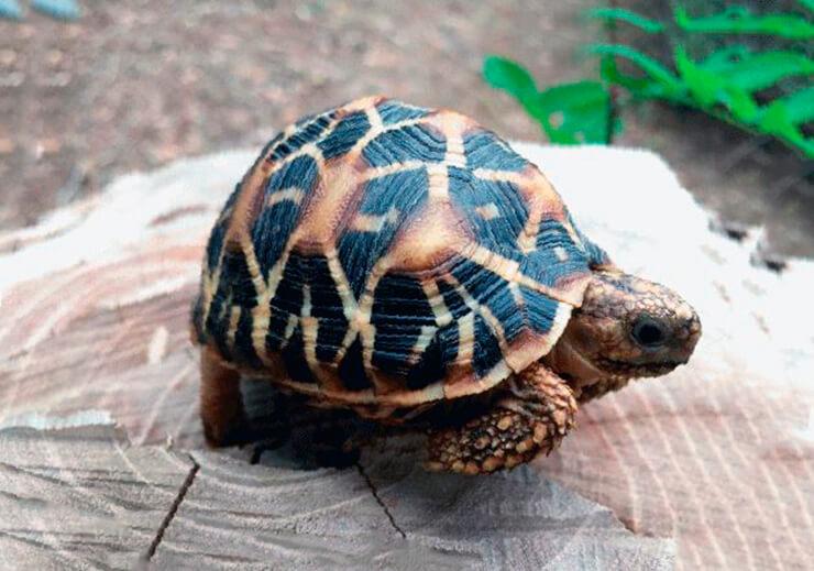 Индийская звездчатая черепаха на пне