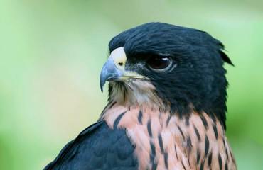 Индийский ястребиный орел