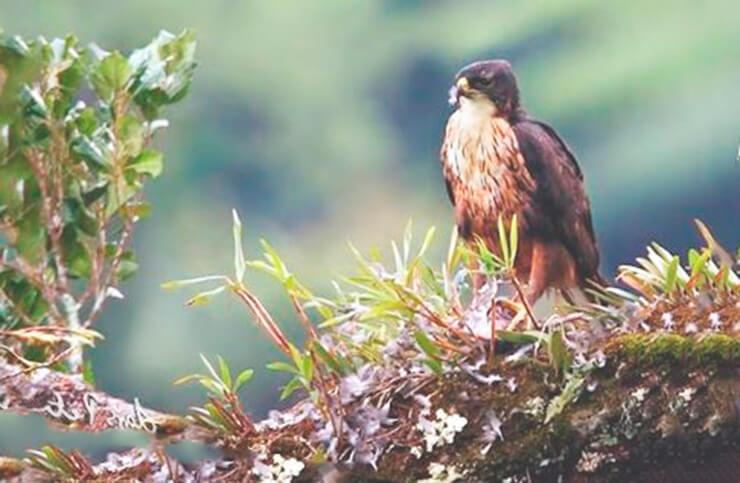 Гнездо индийского ястребиногоорла