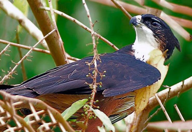 Индийский ястребиный орел в ветвях