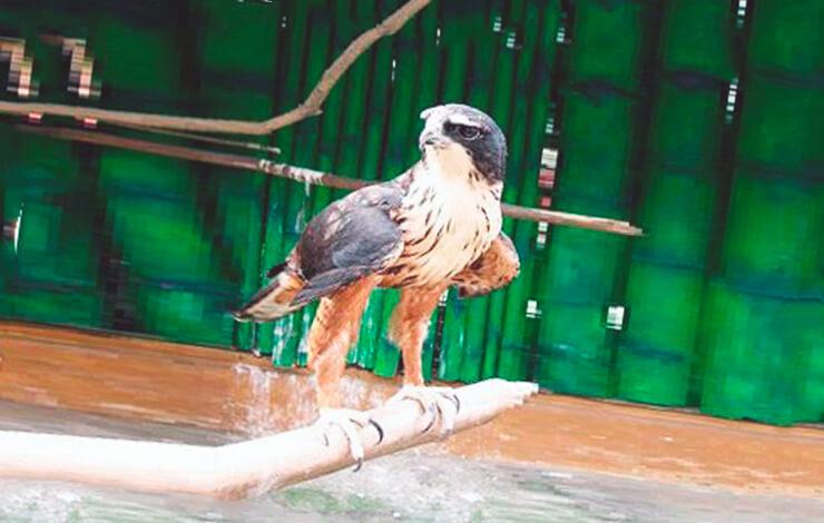 Индийский ястребиный орел фото