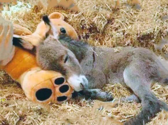 Спящий карликовый осел