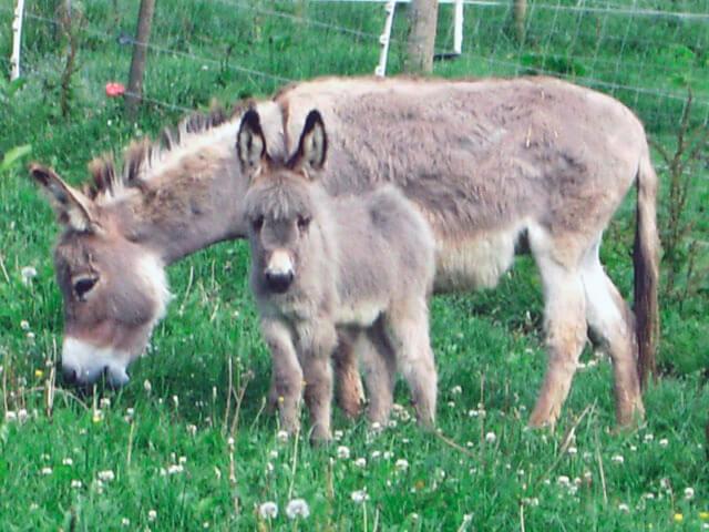 Семья карликовых ослов
