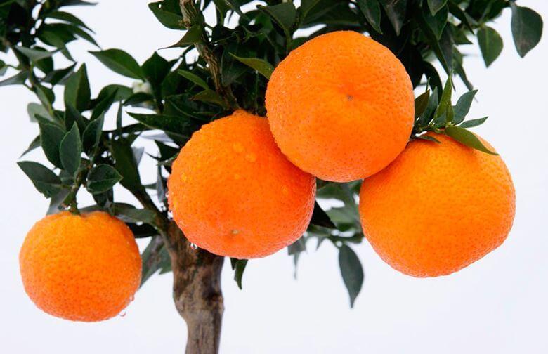 komnatnoe apelsinovoe derevo s plodami Как вырастить апельсин в домашних условиях