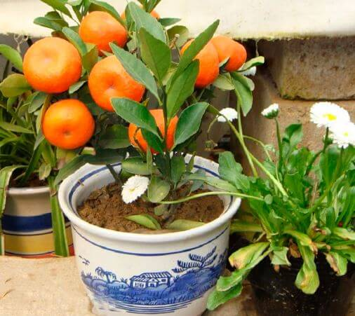 komnatnoe apelsinovoe derevo Как вырастить апельсин в домашних условиях