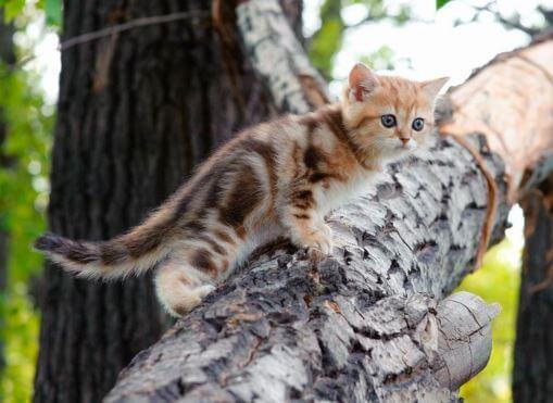 Котёнок онцилла