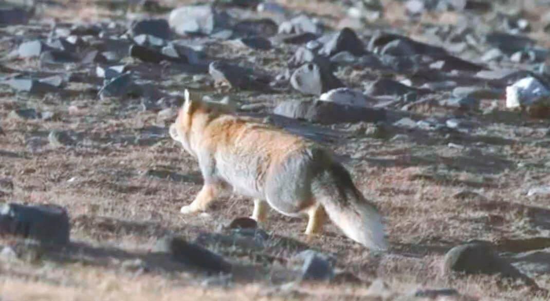 Внешний вид тибетской лисы