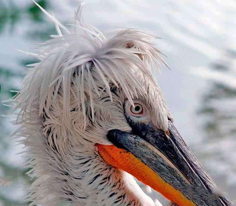 Кудрявый пеликан фото