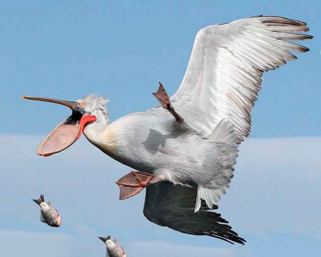 Полёт кудрявого пеликана