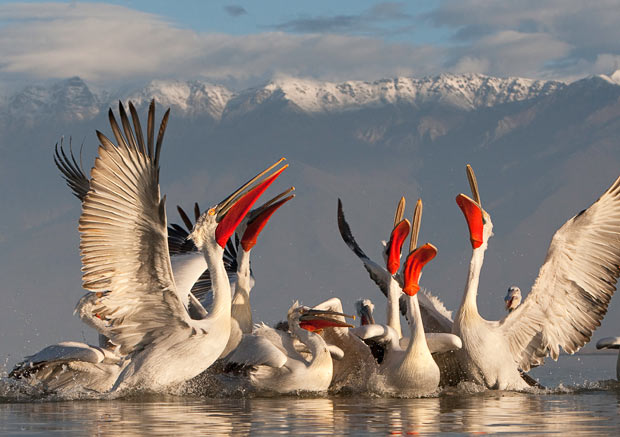 kudryavyy pelikan1 Кудрявый пеликан