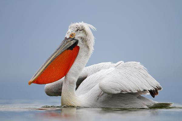 kudryavyy pelikan2 Кудрявый пеликан