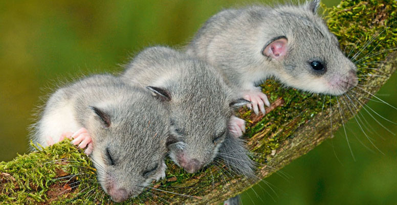 Siebenschlaefer, Glis glis, edible dormouse, edible commoner dormouse, fat dormouse, squirrel-tailed dormouse