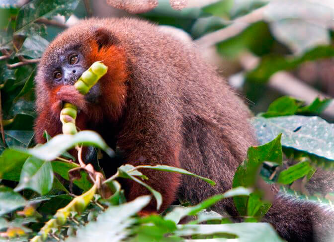 Поедание медным прыгуном спелых фруктов