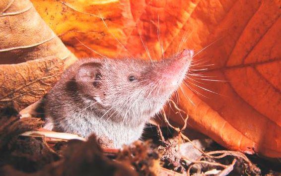 mordochka etrusskaya mysh Этрусская мышь