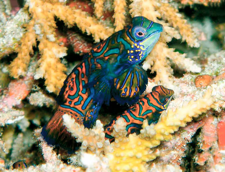 Рыба-мандаринка среди коралов