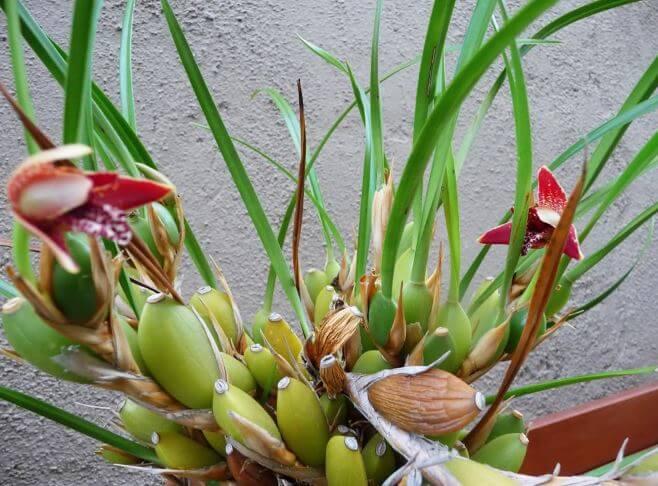 Maxillaria нуждается в пересадке