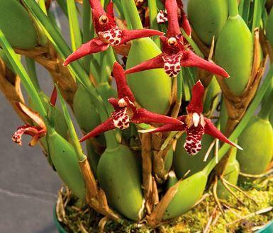 Орхидея Максиллярия фото