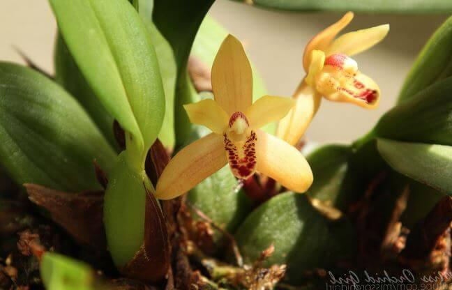 Жёлтые цветы максилярии