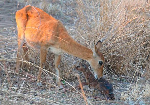 Самка пуку с детёнышем