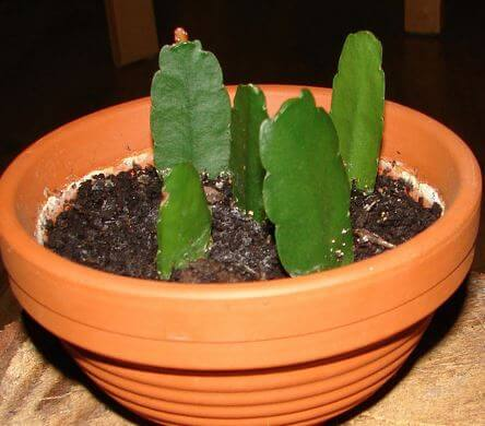 Размножение рождественского кактуса