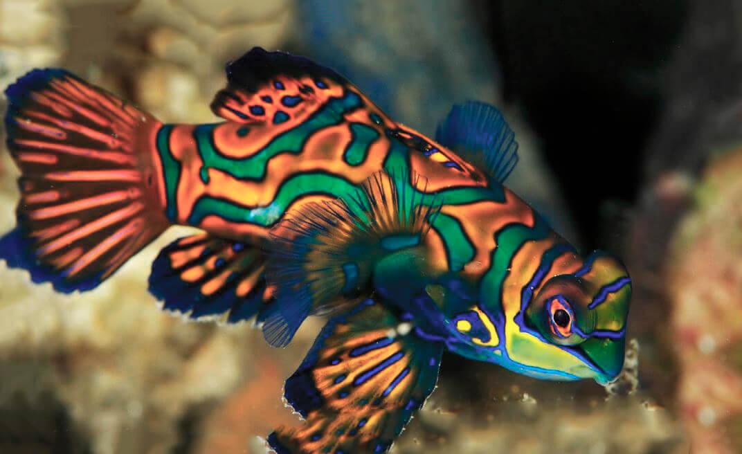 Рыба-мандаринка фото