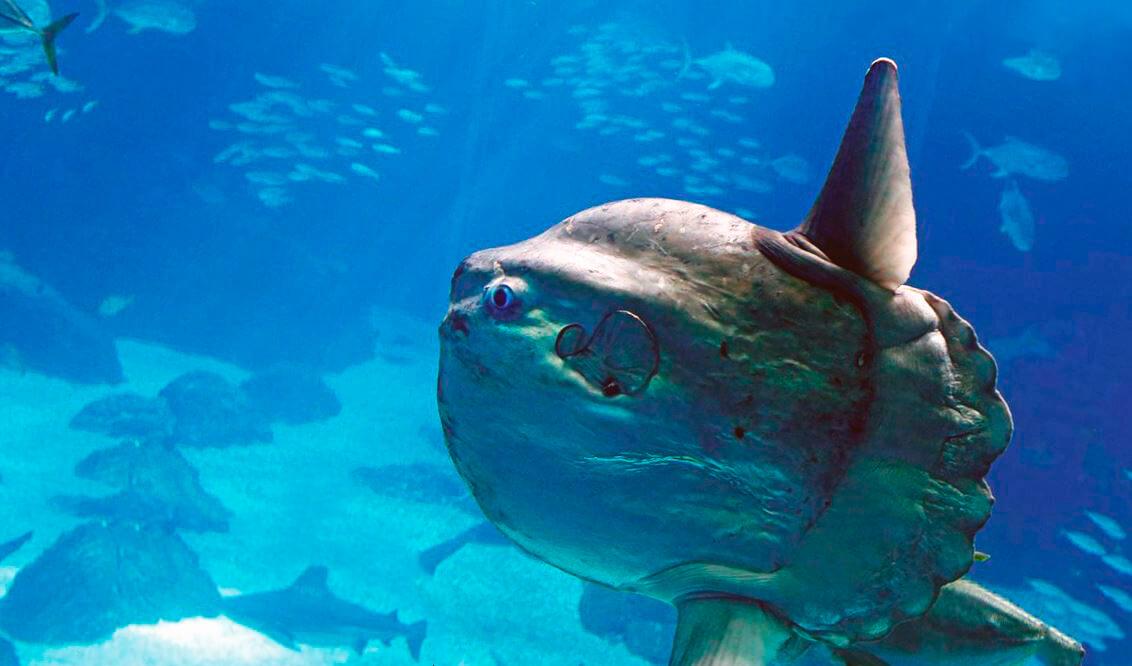 Рыба-солнце фото