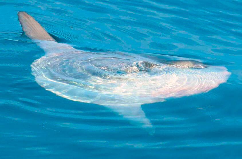 Рыба-солнце в море