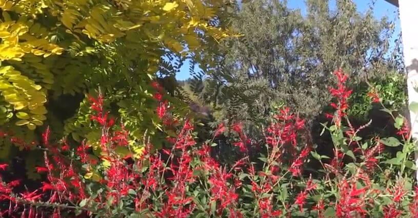 Salvia elegans любит полутень