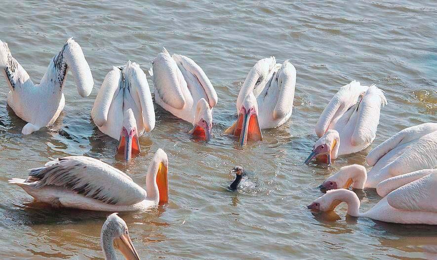 тая кудрявых пеликанов