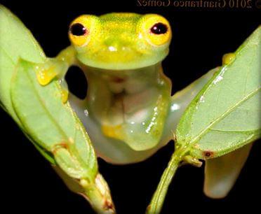 Стеклянные лягушки фото