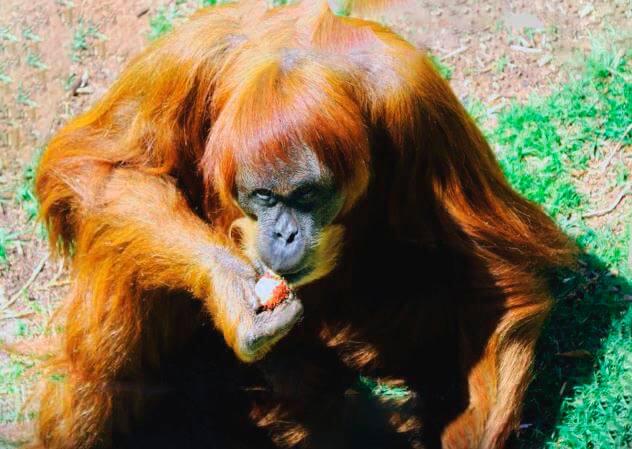 Поедание фруктов суматранским орангутаном