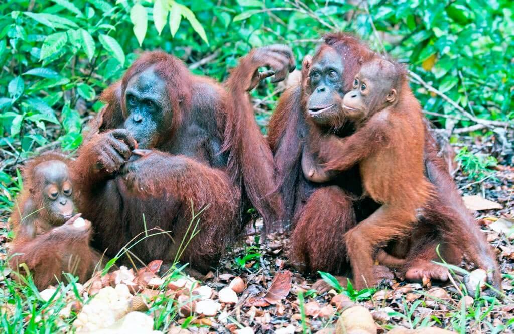 Группа суматранских орангутанов