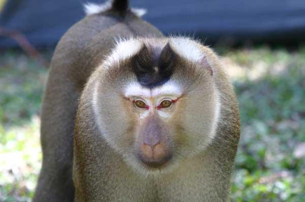 svinohvostyy makak Свинохвостый макак