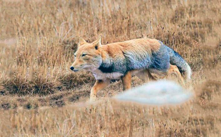 Тибетская лиса фото