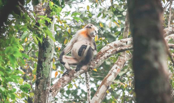 Скучающий на дереве тонкинский ринопитек