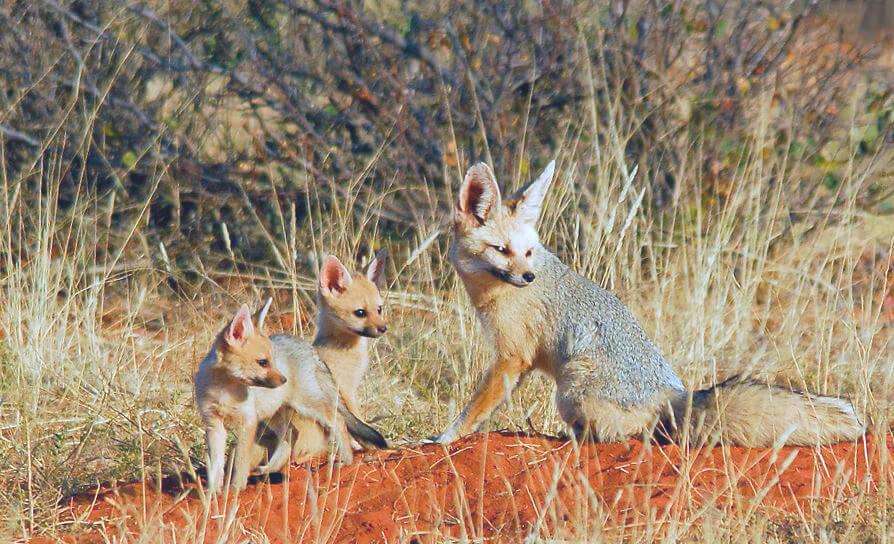 Южноафриканская лисица с лисятами