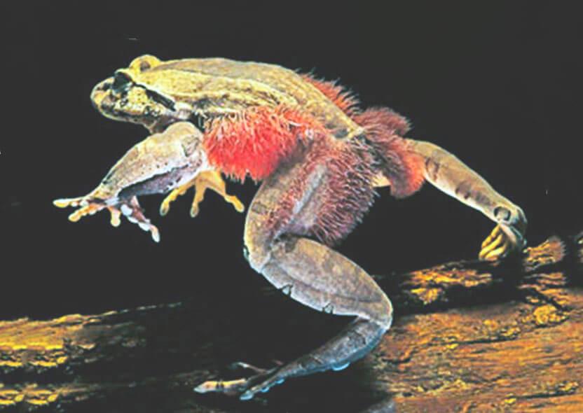 Изображение волосатой лягушки