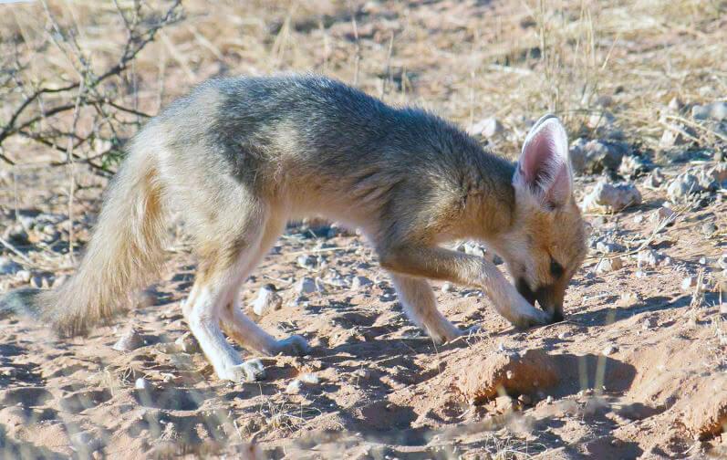 Южноафриканская лисица нашла еду