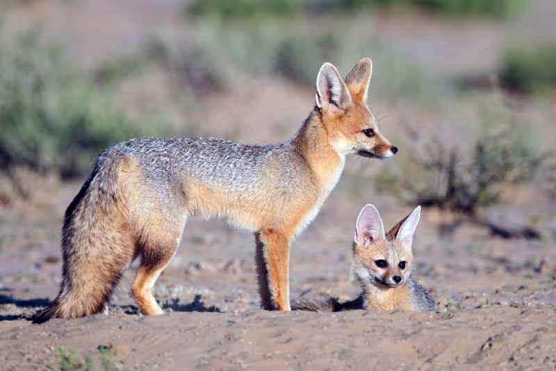 Южноафриканская лисица фото