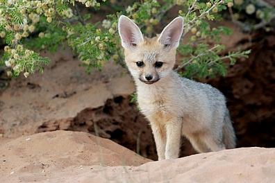yuzhnoafrikanskaya lisica Южноафриканская лисица