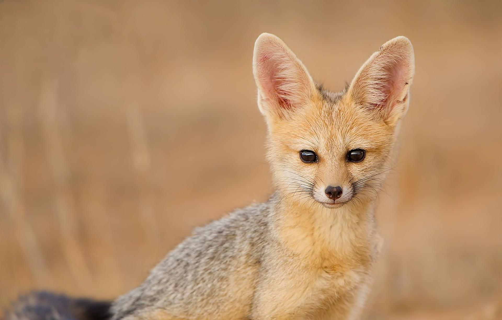 yuzhnoafrikanskaya lisica1 Южноафриканская лисица
