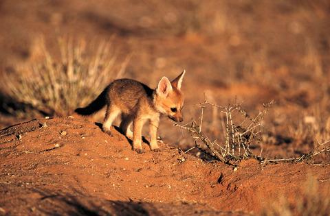yuzhnoafrikanskie lisa Южноафриканская лисица