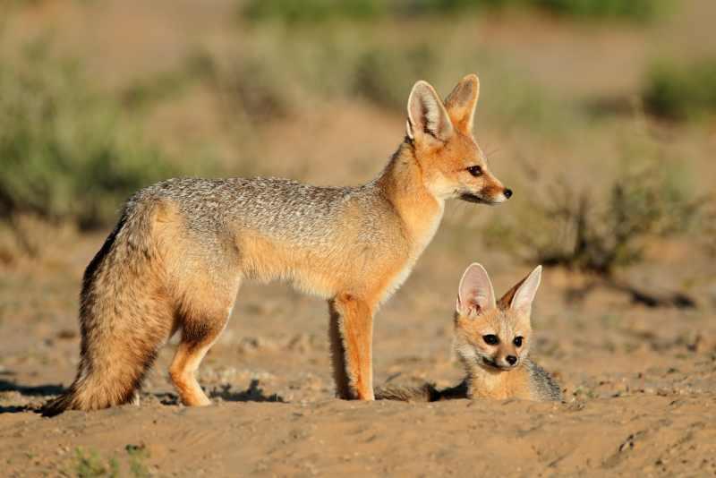 yuzhnoafrikanskie lisicy Южноафриканская лисица