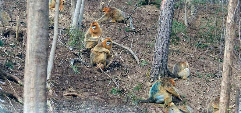 Передвижение по лесу золотых курносых обезьян