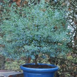 Eucaliptus gunnii Выращиваем эвкалипт в домашних условиях